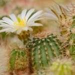 Echinocereus pulchellus sharpii Lau 1030 Providencia, Nuevo Leon, MX