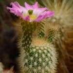 Echinocereus websterianus Isla San Pedro Nolasco, Sonora, MX