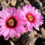 Echinocereus fitchii ssp. alberti Alice, Jim Wells Co, Texas, USA
