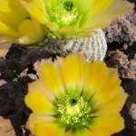 Echinocereus ctenoides Santa Rosa, Coahuila, MX (nádherný žlutý květ)