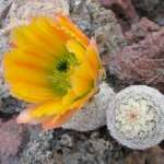 Echinocereus ctenoides DU 40  Melchor Muzquiz 111km, Coahuila, MX