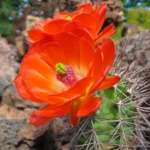 Echinocereus coccineus ssp. transpecosensis TO 422 Sierra Blanca, Hudspeth Co, Texas, USA (obrovský květ)
