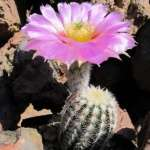 Echinocereus reichenbachii​ JRT 214 Raegan, Johnston Co, Oklahoma, USA (mrazuvzdorný)