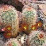 Echinocereus russanthus Mule Overlook, Big Bend N.P., Brewster Co, Texas, USA (pěkně otrněná barevná novinka)