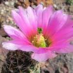 Echinocereus fendleri rectispinus  Prescot, Yavapai Co, Arizona, USA