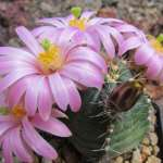 Echinocereus knippelianus Las Vigas, Coahuila, MX
